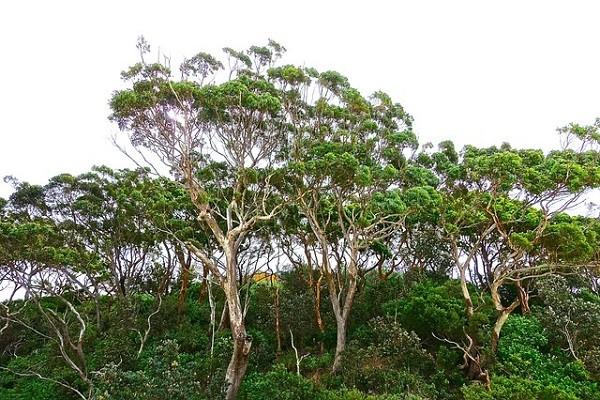Eucalyptus (Minyak Kayu Putih)