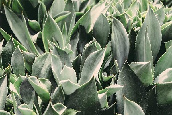 Lidah Buaya (Aloe Vera), Tumbuhan Luar Biasa yang Bantu Kuatkan Rambut